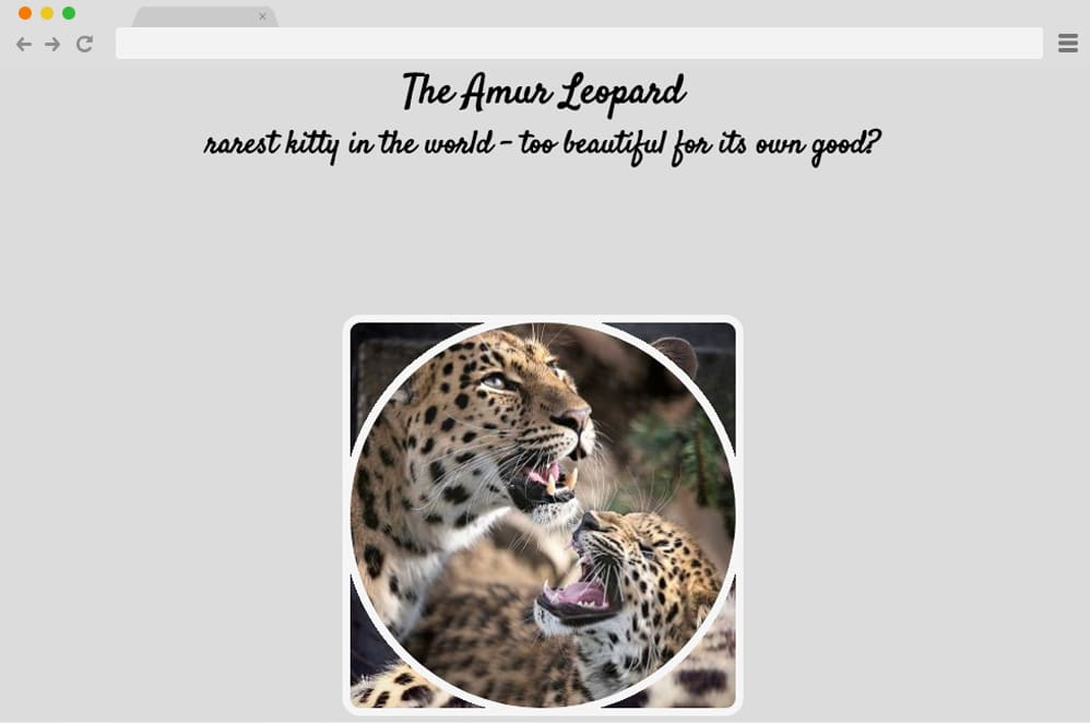 Amur Leopard Image Gallery With CSS VARS css image gallery